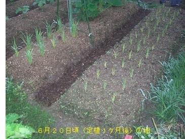 陸稲1-10mw.jpg