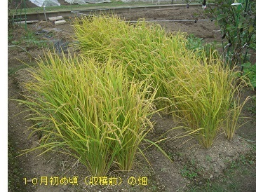 陸稲2-10mwb.jpg