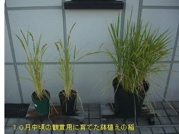 陸稲4-10mb.jpg